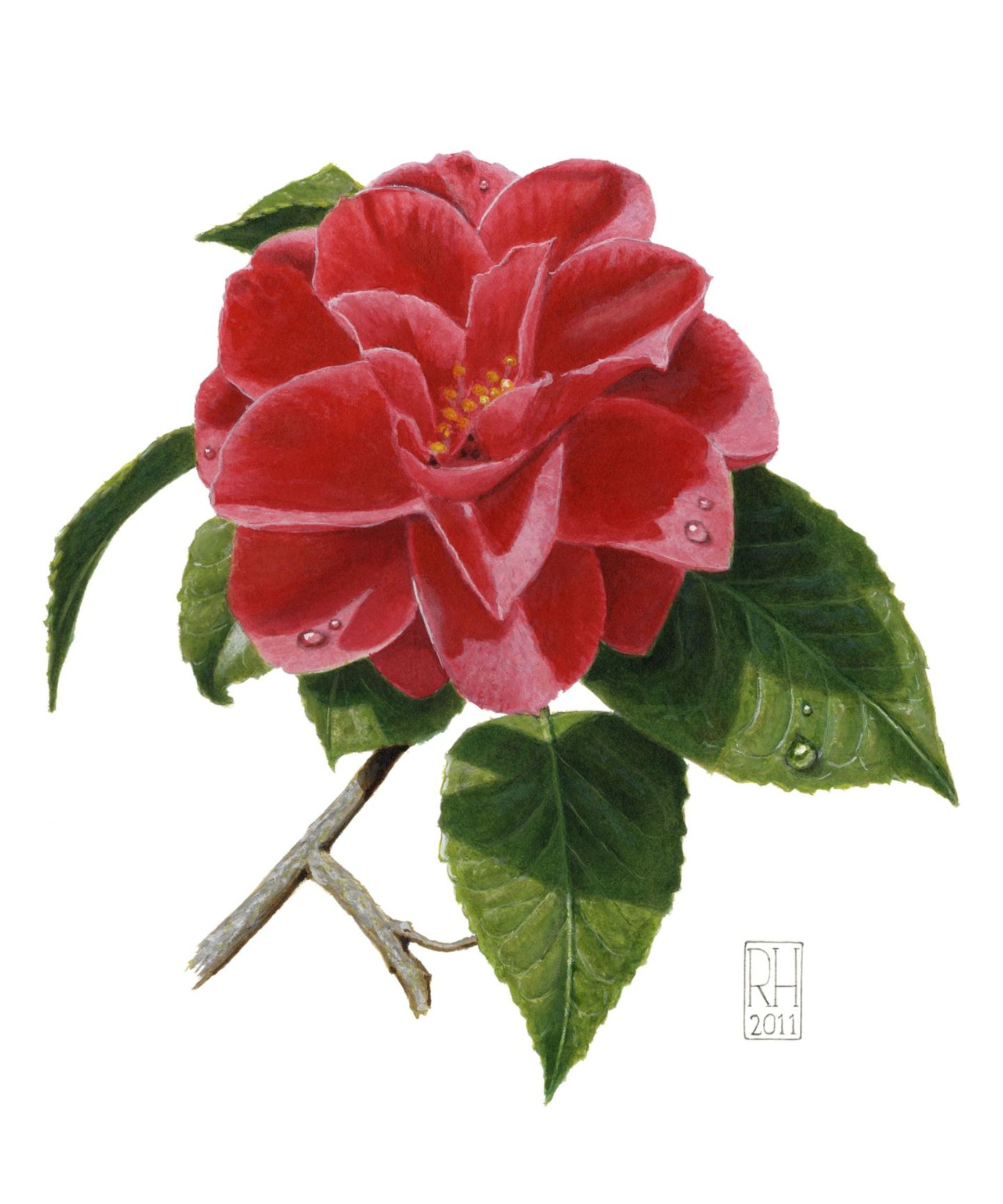Painting - Camellia