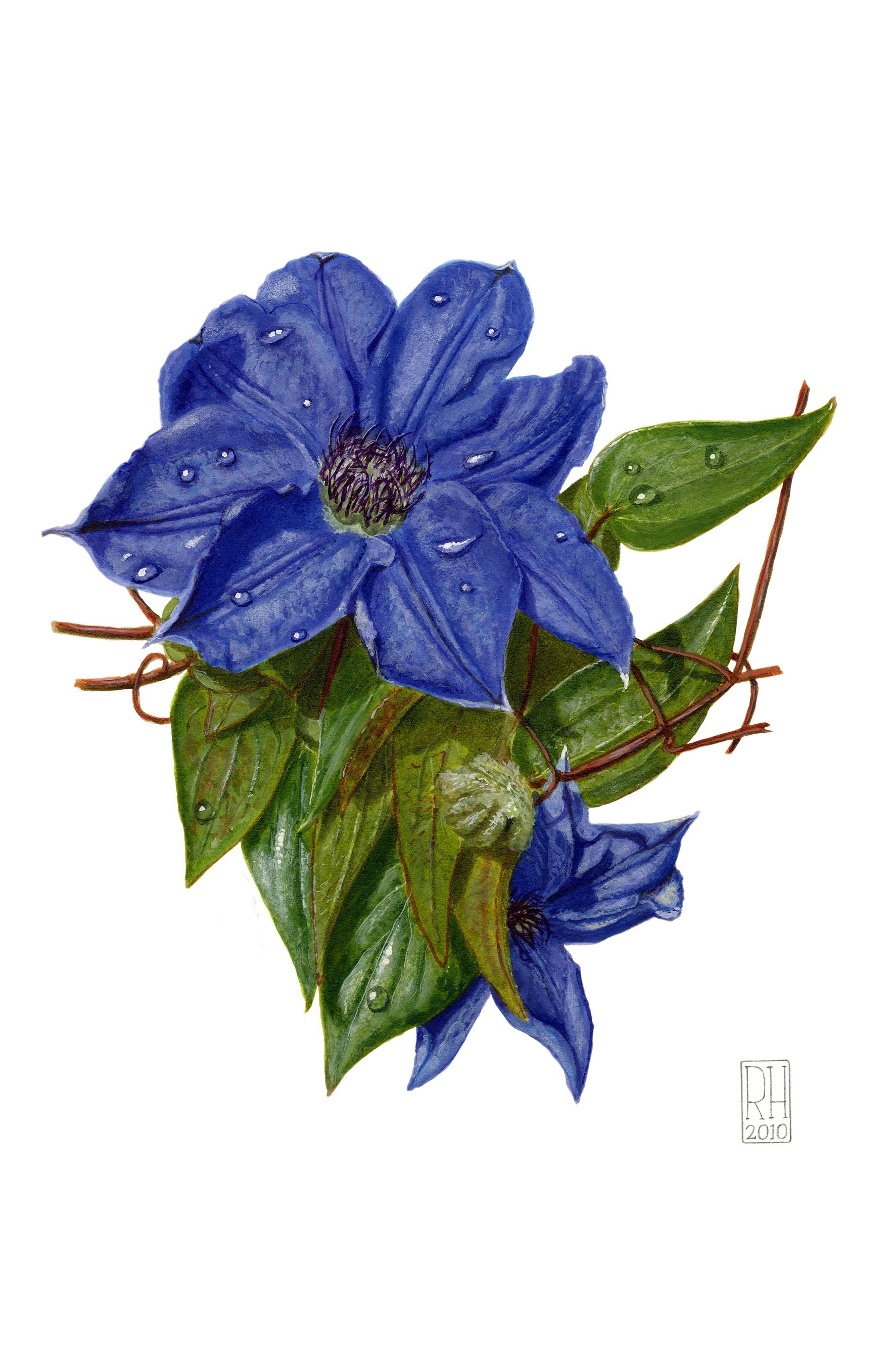 Painting - Clematis